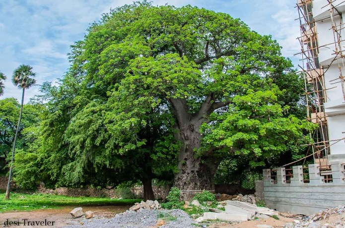 old baobab tree with new leaves