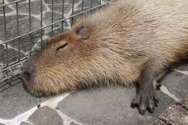 Photo:カピバラ Capybara By:CapybaraJP