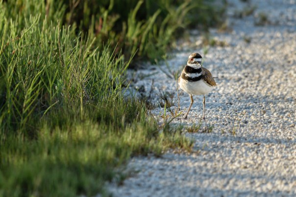 Killdeer checks me out