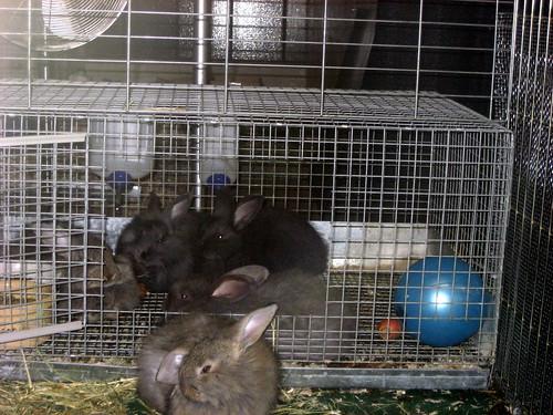 Young rabbits at Royal Agricultural Winter Fair