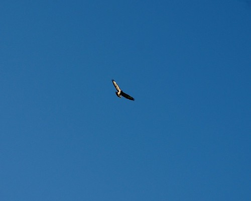 20120219-56_Buzzard - Blue Sky by gary.hadden