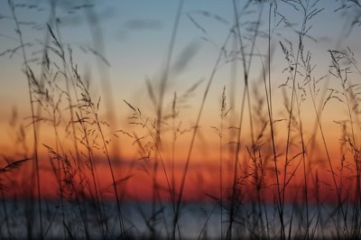 Sunset threw the grasses