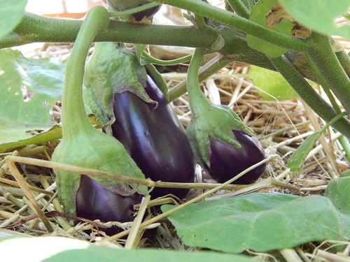Harvesting Eggplant The Demo Garden Blog