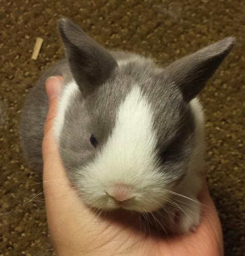 lilac Dutch rabbit kit