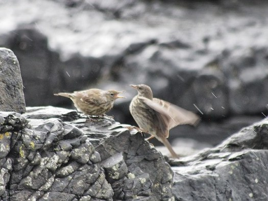 hungry shore pipit