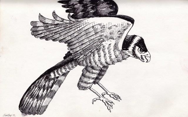 Hawk - Pen & Ink - 1978