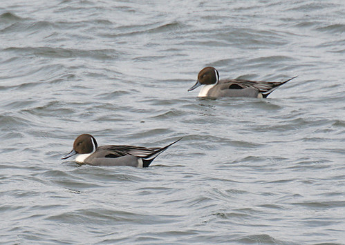 Pintail Anas acuta Tophill Low NR, East Yorkshire February 2014