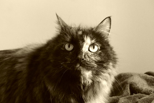 #chat #tortoiseshell #cat #Flickr12Days