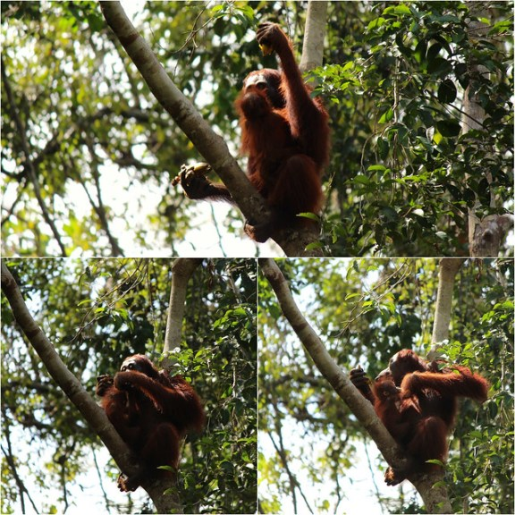 Orangutans - Borneo Rainforest - Kalimantan, Indonesia