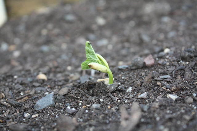 Green Bean Seedling Emerging