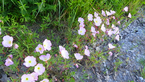 Pink Ladies growing on the roadside