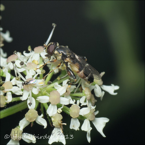 Thick Legged Hoverfly [Syritta pipiens]