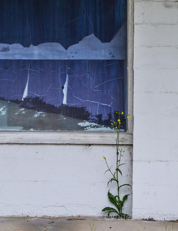 dandelion cjane