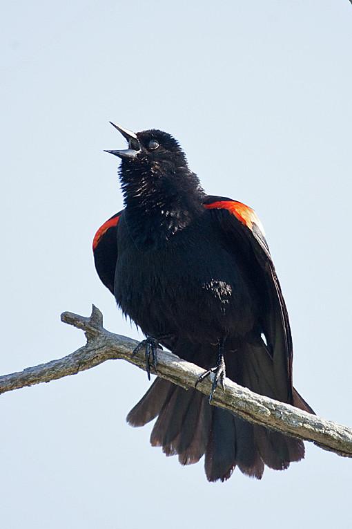 _DSC0780 Red-winged Blackbird