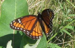 Viceroy (Limenitis archippus), Governor Nelson State Park, 8/10/13