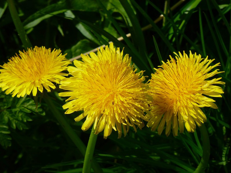 Field dandelion.