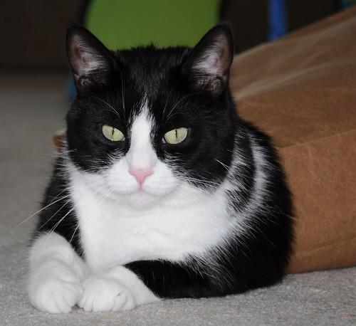 Tuxedo Cat 8