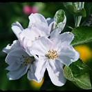 apple blossom bordered