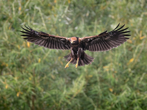 Female Marsh Harrier landing_2