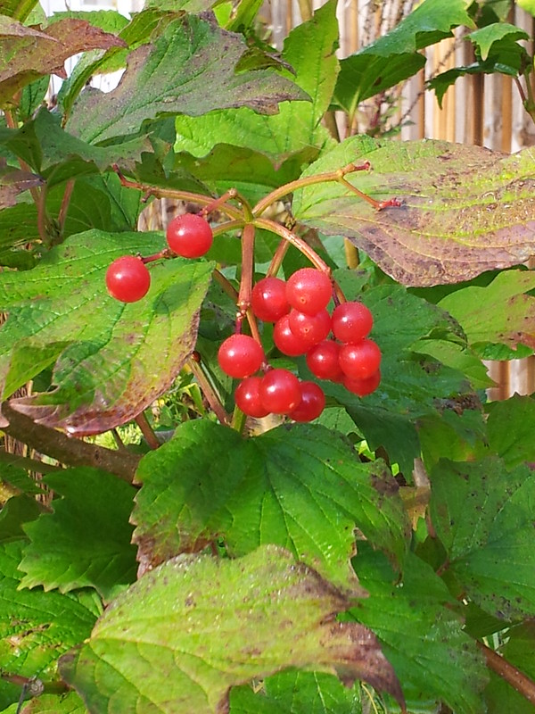 viburnumberry