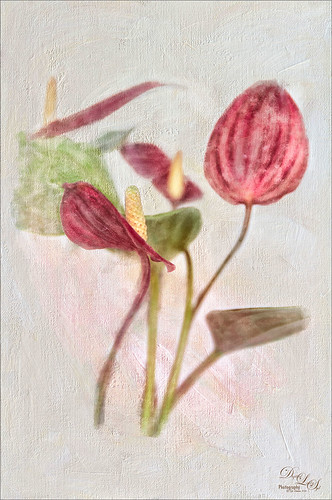 Image of red anthuriums on a white texture