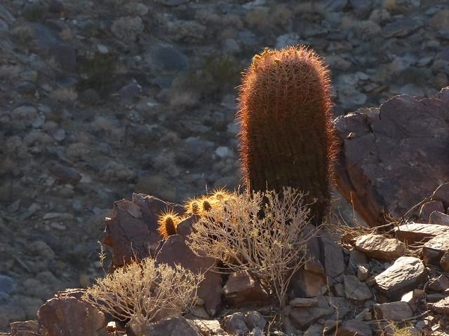 Barrel Cactus P1080076