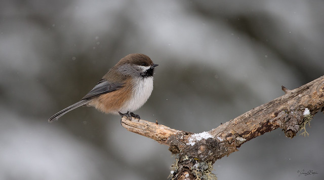 Chickadee of the North