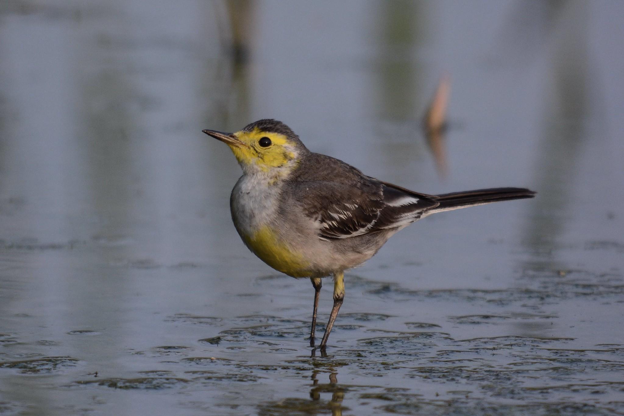 Citrine Wagtail 黃頭鶺鴒 - Pipits 鷚 - Landbirds 陸鳥 - HKBWS Forum 香港觀 ...
