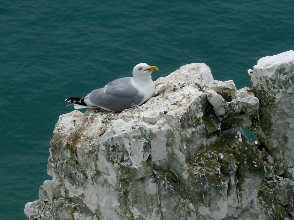 Dover Gull nesting
