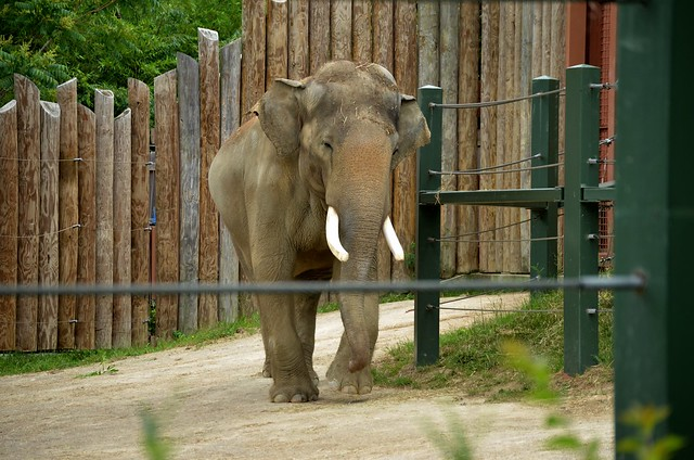 Sabu, the Asian Elephant Bull