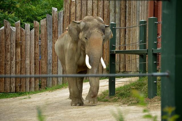 Sabu, the Asian Elephant Bull