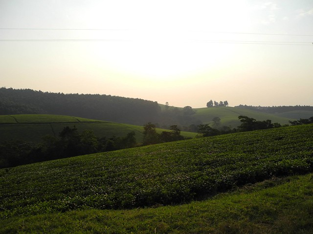 Tea Fields outside of  Kampala.