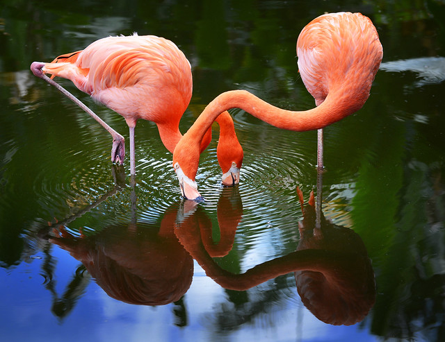 two very pink flamingos standing in still, shallow water. Their necks cross, both of them dipping their beaks just into the water.