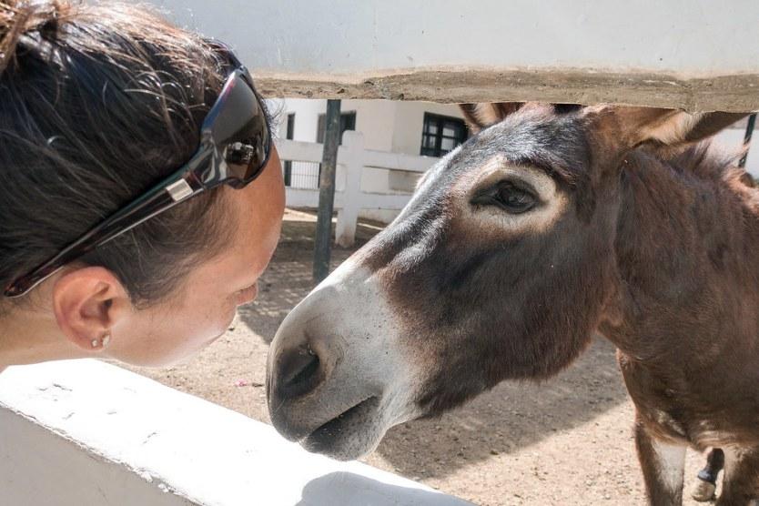 One of the super sweet donkeys rehabilitating at SPANA.