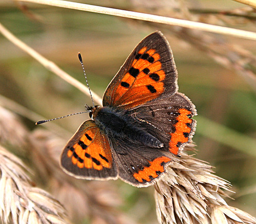 Small Copper Lycaena phlaeas Tophill Low NR, East Yorkshire August 2013