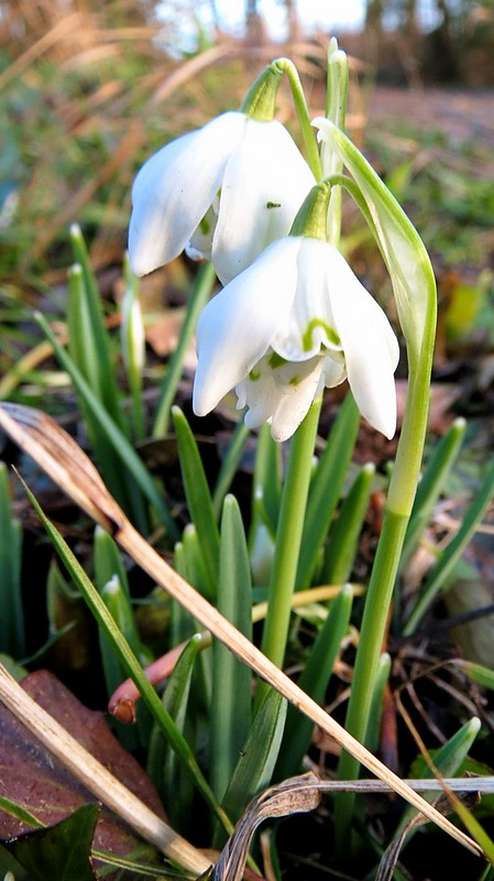 Snowdrops at evening