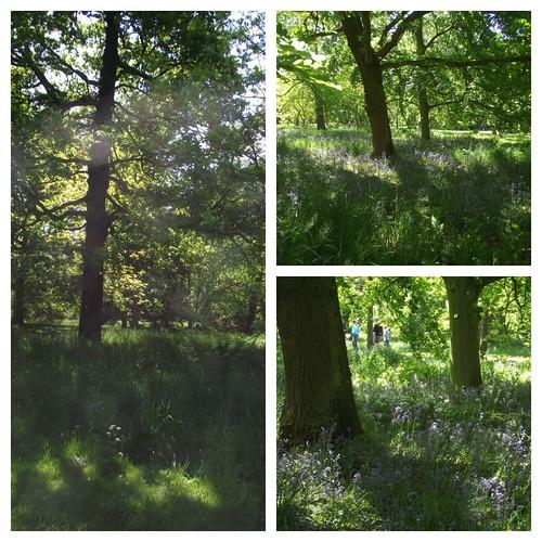 Bluebells - Kew