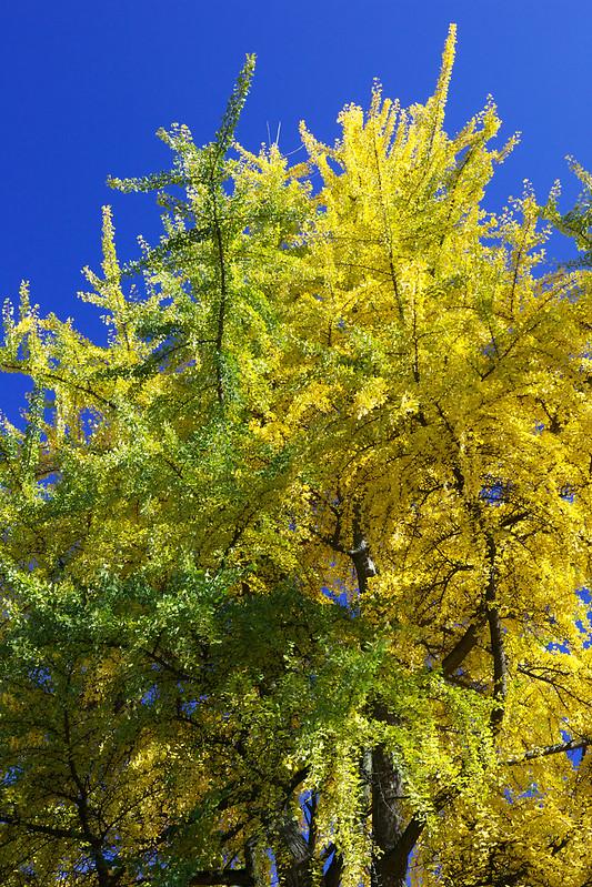 Autumn ginkgo. Striyskiy park. Lviv, Ukraine