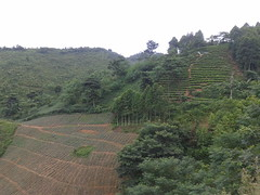 Agroforestry pineapple and tea plantation on a mountain slope in Northwest Vietnam
