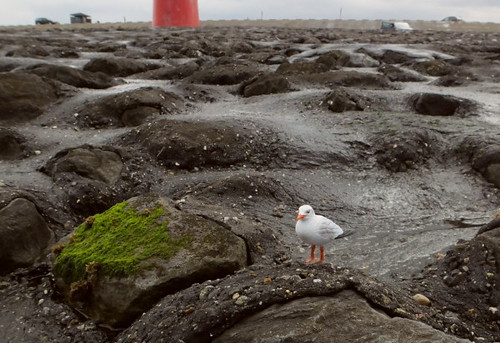 Gull abroad