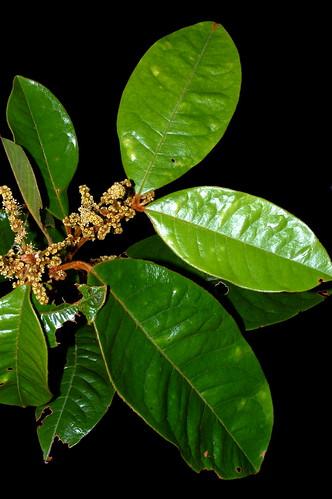 Mischocarpus lachnocarpus DSC_0097