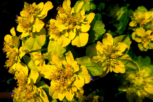Spurge with Yellow Bloom