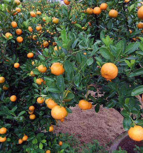 Kumquat Fruit Tree in Hoi An, Vietnam