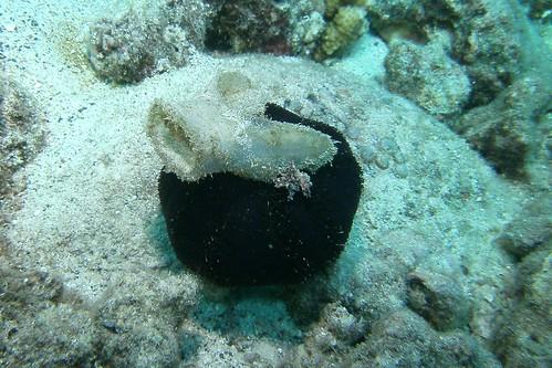 snorkel urchin