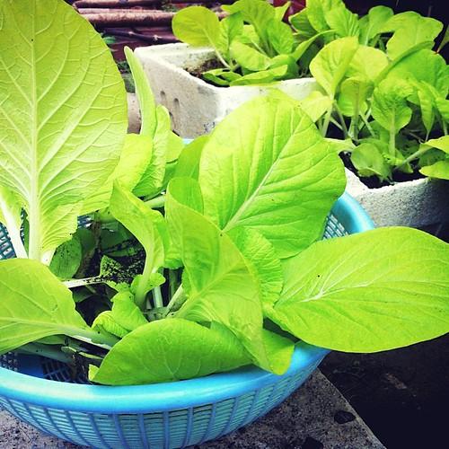 收成了。 播的白菜種就不會冒出蘿蔔來。 早安。