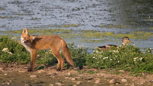 Fox cub wink