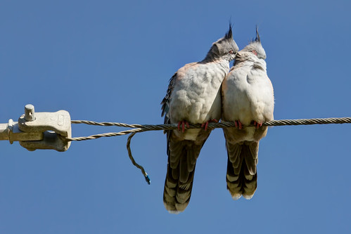 Canoodling Crested Pigeons 2013-07-09 (_MG_1481)