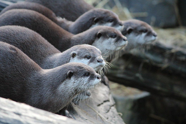 view across a row of otters on a rock ledge. All are looking watchfully to the right as if waiting for something to happen.
