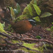 Tanager-finch