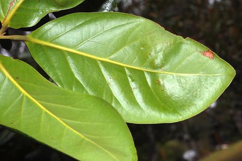 Endiandra bessaphila DSC_0640